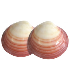 2 paires de coquillages LavaShells